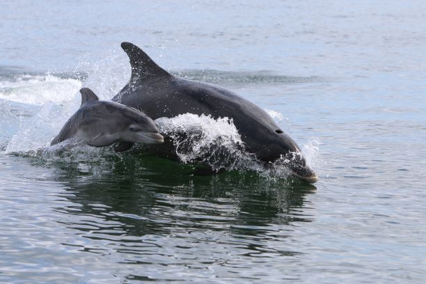 A SCOT Bottlenose and baby thumbnail